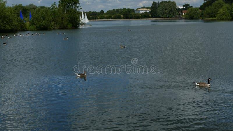 """""""Oiseaux aquatiques """", oies, lac et bateaux dans un jour ensoleillé image stock"""