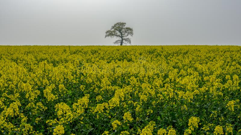 """""""Уединенное дерево"""" в поле весны цветя рапса стоковое фото"""