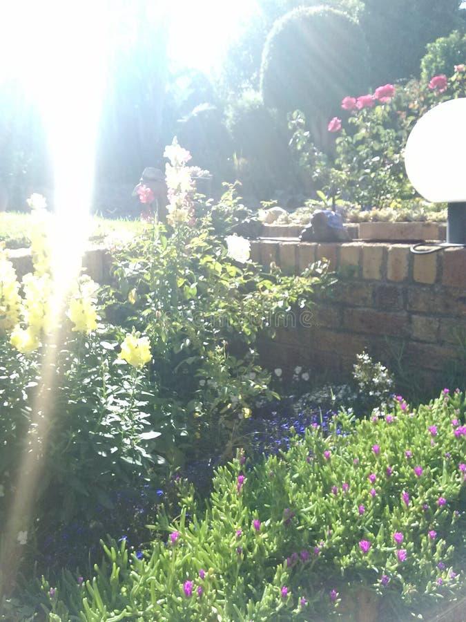 """""""Leeubekkies"""" in einem Blumenbeet stockfotografie"""