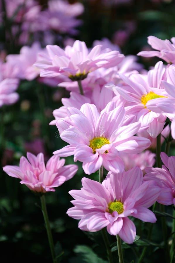 ‰ Del ¼ del roseï del ˆgrand del ¼ del ï del crisantemo imágenes de archivo libres de regalías