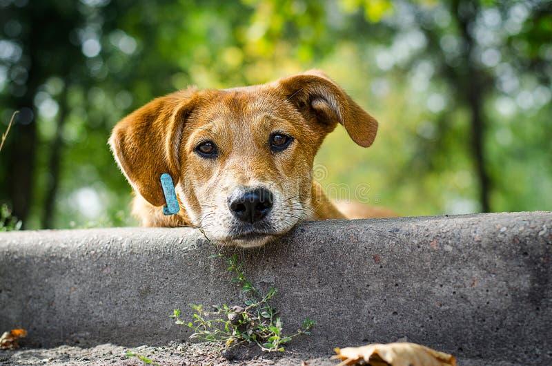 ‹Do †do ‹do †do cão disperso com olhos tristes foto de stock royalty free