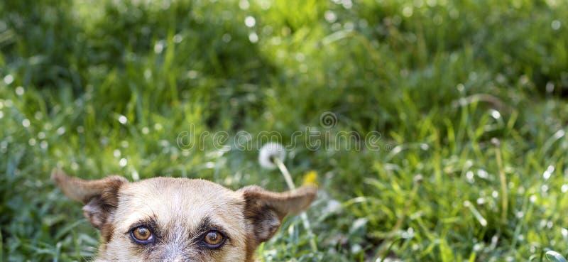 ‹Do †do ‹do †do cão que espia na fotografia foto de stock royalty free