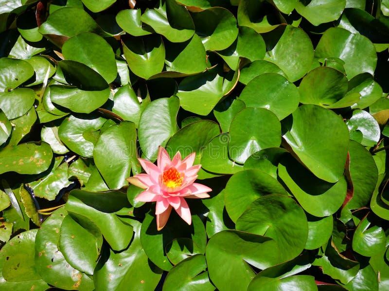 ‹För flower†för ‹för tropical†för ‹för color†för ‹för rose†för ‹för pick†för ‹för †för ‹för plant†för ‹för water† royaltyfria foton