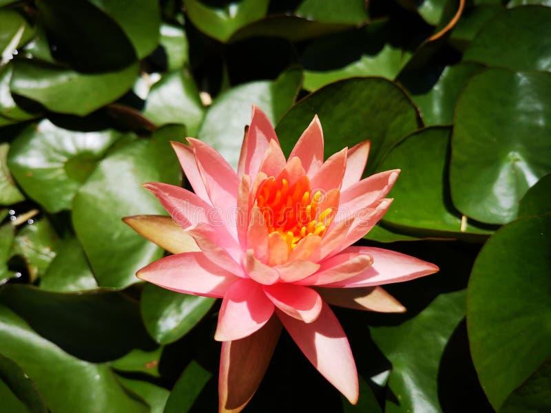 ‹För flower†för ‹för tropical†för ‹för color†för ‹för rose†för ‹för pick†för ‹för †för ‹för plant†för ‹för water† royaltyfria bilder