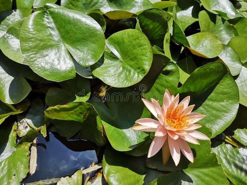 ‹För flower†för ‹för tropical†för ‹för color†för ‹för rose†för ‹för pick†för ‹för †för ‹för plant†för ‹för water† arkivfoto