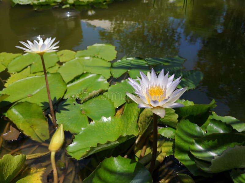 ‹För flower†för ‹för tropical†för ‹för color†för ‹för white†för ‹för †för ‹för plant†för ‹för water†för ‹för Lotusâ royaltyfri bild