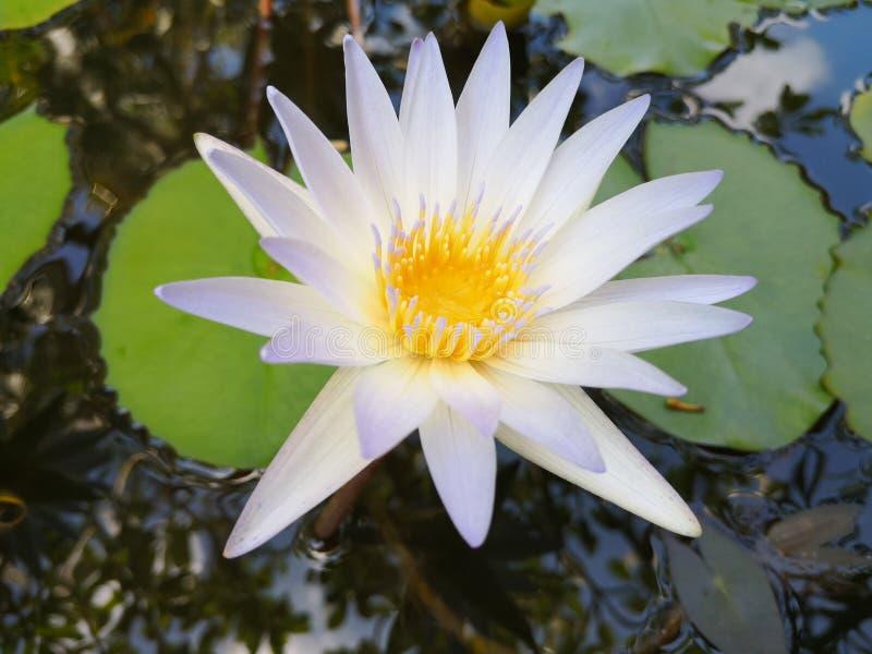 ‹För flower†för ‹för tropical†för ‹för color†för ‹för white†för ‹för †för ‹för plant†för ‹för water†för ‹för Lotusâ fotografering för bildbyråer