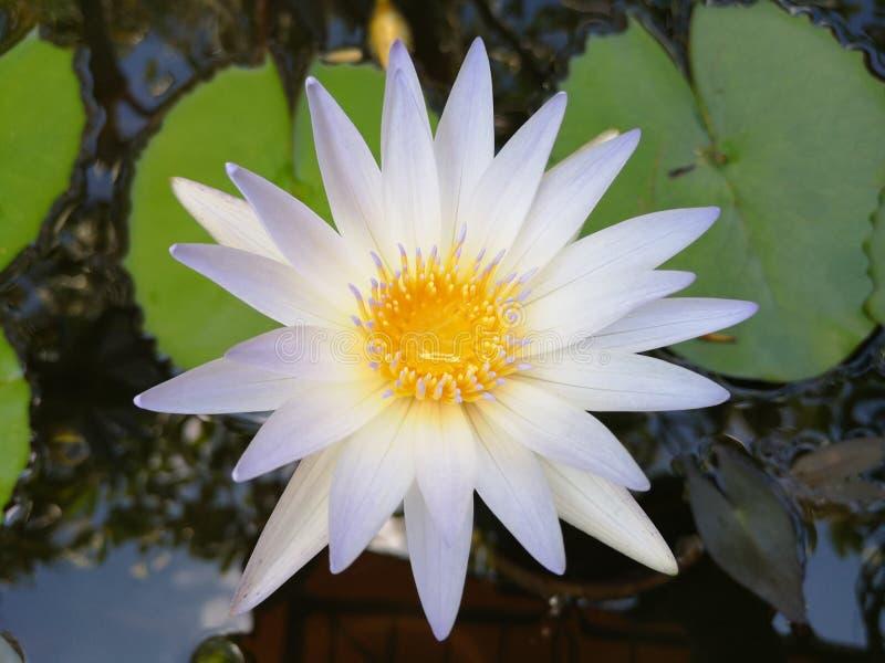 ‹För flower†för ‹för tropical†för ‹för color†för ‹för white†för ‹för †för ‹för plant†för ‹för water†för ‹för Lotusâ royaltyfri fotografi