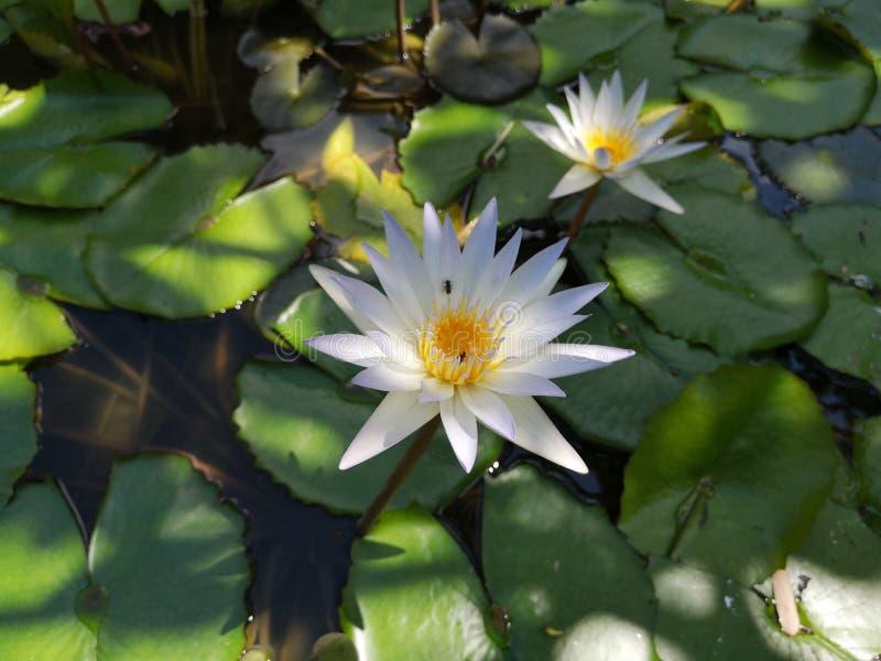 ‹För flower†för ‹för tropical†för ‹för color†för ‹för white†för ‹för †för ‹för plant†för ‹för water†för ‹för Lotusâ arkivfoton