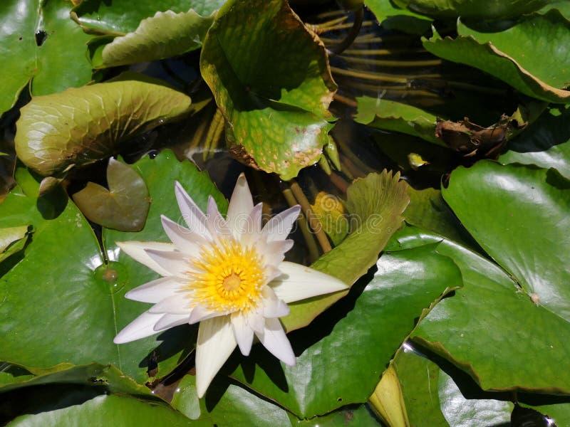 ‹För flower†för ‹för tropical†för ‹för color†för ‹för white†för ‹för †för ‹för plant†för ‹för water†för ‹för Lotusâ royaltyfri foto