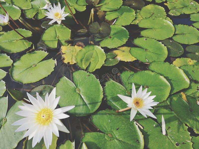 ‹För flower†för ‹för tropical†för växt för ‹för blossom†för ‹för lily†för ‹för water†för ‹för Beautiful†‹lotusâ€, arkivbilder