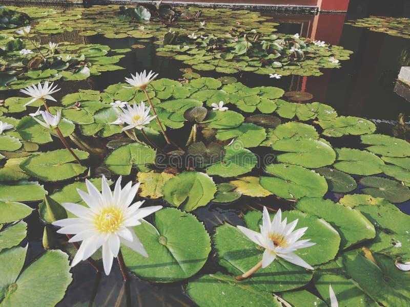 ‹För flower†för ‹för tropical†för växt för ‹för blossom†för ‹för lily†för ‹för water†för ‹för Beautiful†‹lotusâ€, royaltyfria foton