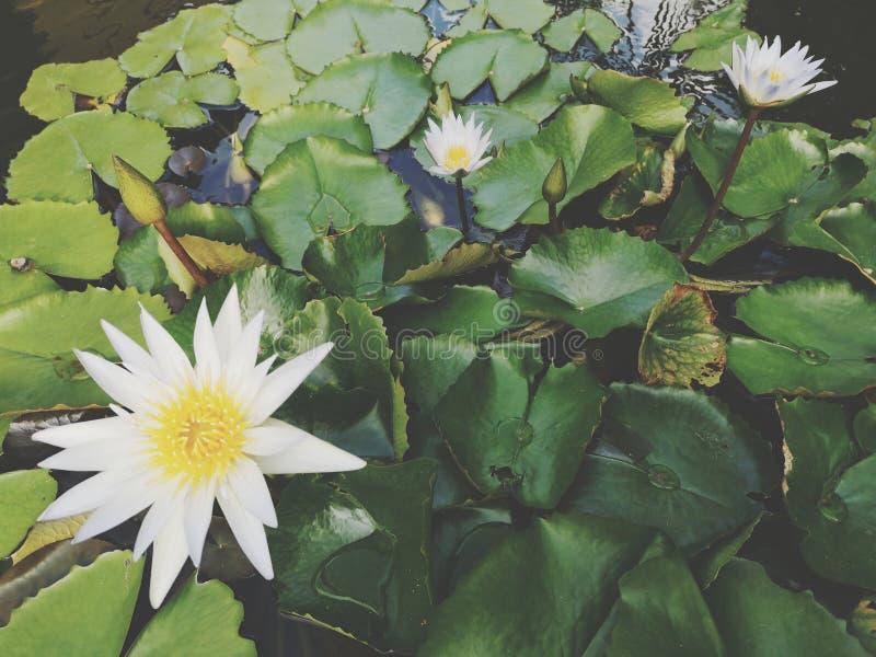 ‹För flower†för ‹för tropical†för växt för ‹för blossom†för ‹för lily†för ‹för water†för ‹för Beautiful†‹lotusâ€, royaltyfri bild