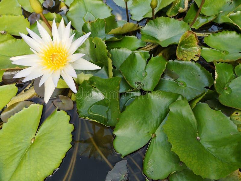 ‹För flower†för ‹för tropical†för växt för ‹för blossom†för ‹för lily†för ‹för water†för ‹för Beautiful†‹lotusâ€, fotografering för bildbyråer