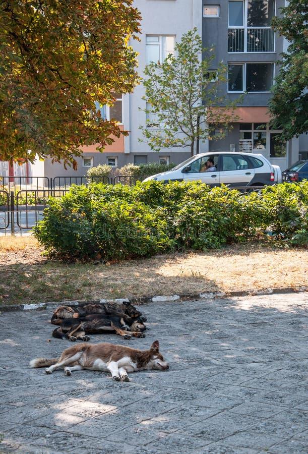 € «08/25/2018 Асеновграда, Пловдива/Болгарии: бездомные как простерилизовало собак спать на улицах города стоковые изображения rf
