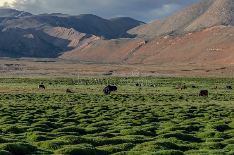 """€ """"Ladakh, Jammu y Cachemira, la India de la meseta de Changthang imágenes de archivo libres de regalías"""
