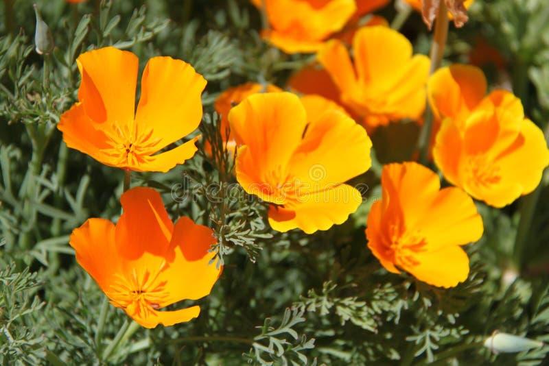 "€ ""Kalifornien Poppy Flowers Eschscholzia Californica lizenzfreie stockbilder"