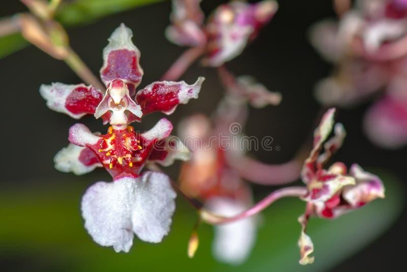 "€ ESTRANHO da ORQUÍDEA ""a orquídea da bailarina fotografia de stock"
