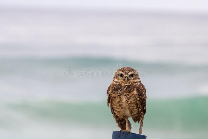 """€ típico """"Athene Cunicalaria de Owl Coruja Buraqueira del Brasil que mira fijamente sobre un polo de madera con el fondo el mar imagenes de archivo"""