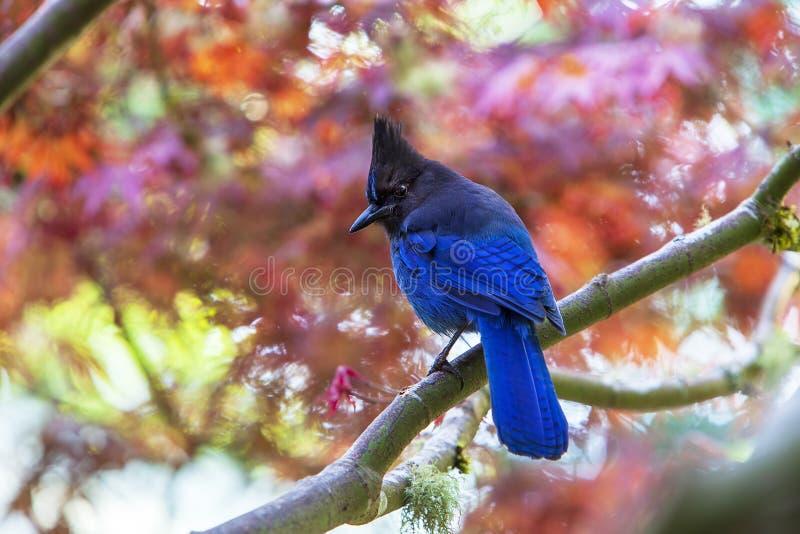 《斯特勒的杰伊 — 蓝八色》 图库摄影