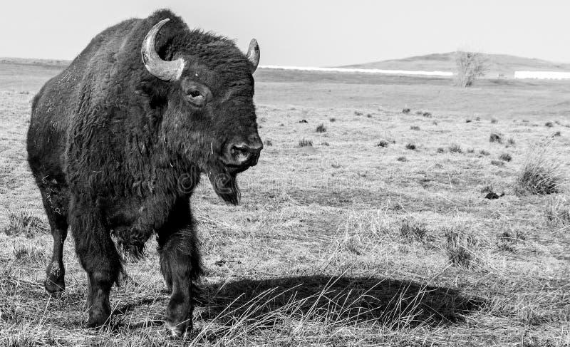 《美国野牛》 库存照片