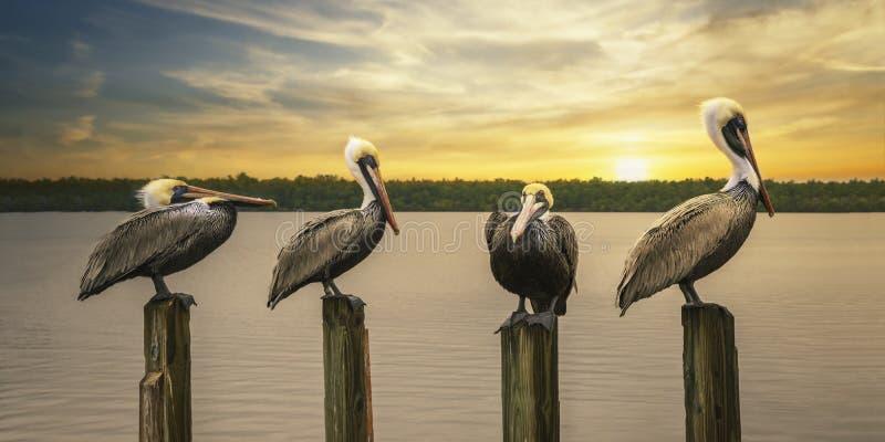 《鹈鹕》在日落时摆出姿势 图库摄影