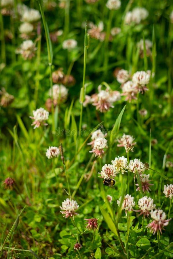 一个三叶草领域的背景影像与蜂的 免版税库存图片