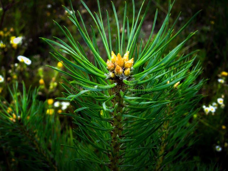 一个不可思议的与年轻芽和模糊的背景的分支针叶树 详细自然秀丽  图库摄影