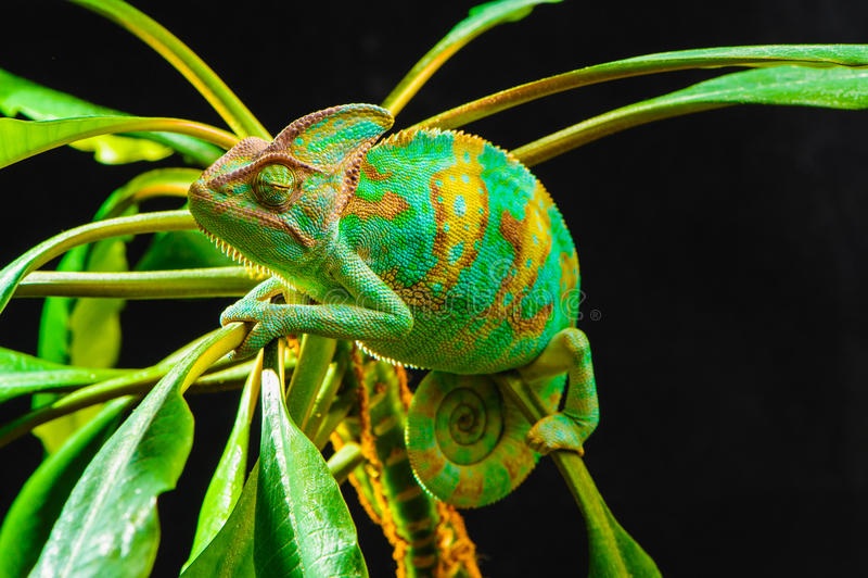 一个也门变色蜥蜴 库存图片