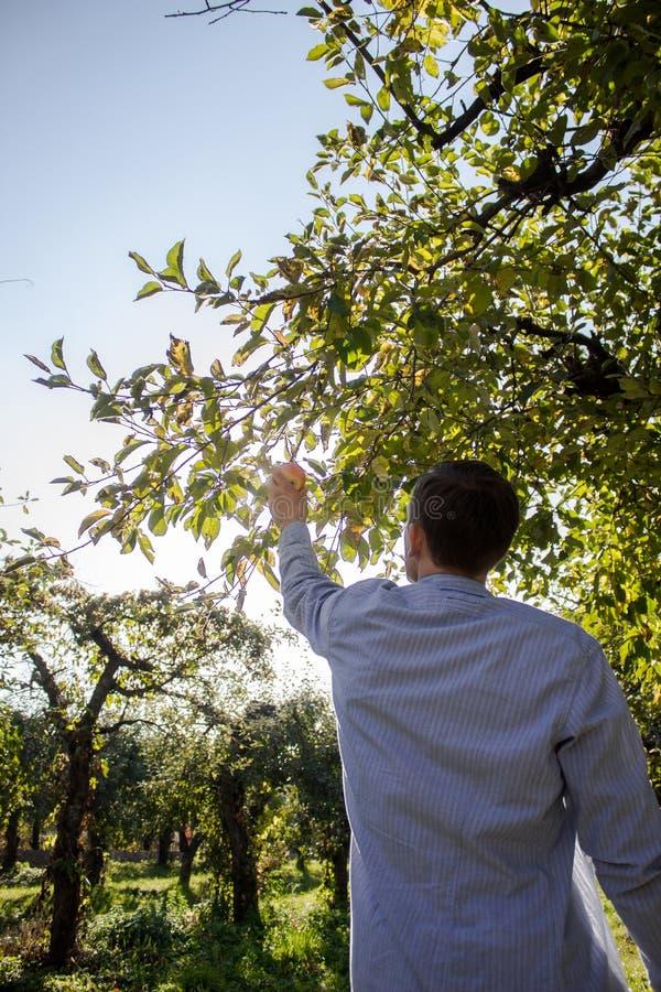 一个人从树撕毁一个苹果 免版税库存图片