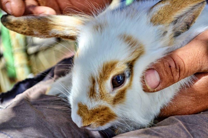 一个人在强的手上拿着白色一小家兔与红色斑点的 人,玉米的手,软和富感情 库存图片