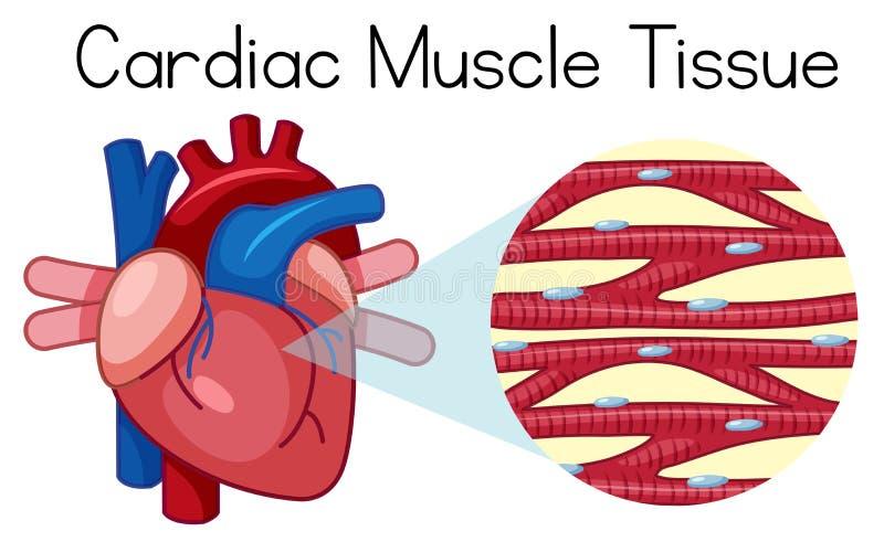一个人的心肌组织 库存例证