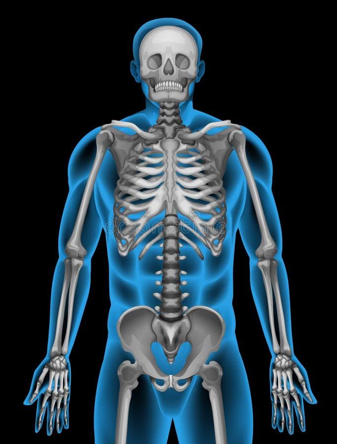 一个人的骨骼系统 库存例证