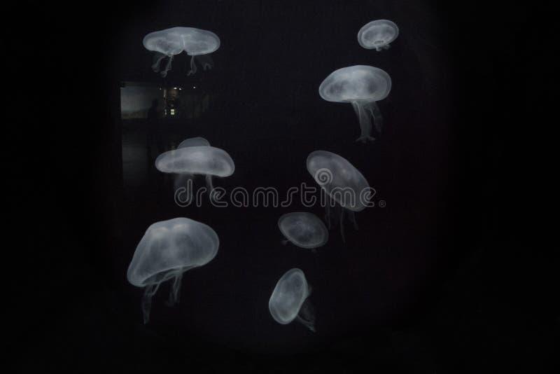 一个人的水母Aurelia和剪影 库存图片
