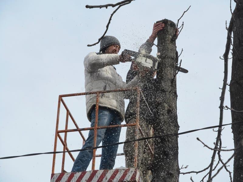 一个人锯与锯的一个树干,并且很多锯木屑飞行,特写镜头 砍树在很难接触到地方在中 免版税库存照片