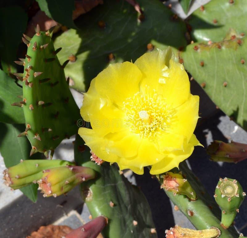 一个仙人球的大黄色花在明亮的太阳下的发出光线 库存图片