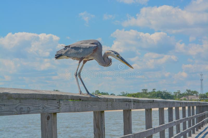 一个伟大蓝色的苍鹭的巢在钓鱼的码头看见鱼吃在格尔夫波特,哈里森县密西西比,墨西哥湾美国 免版税库存图片