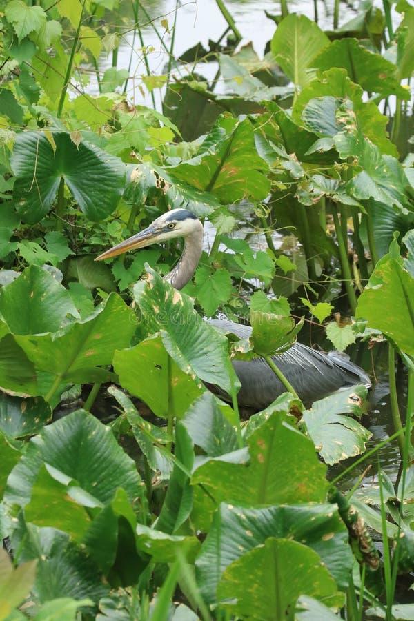 一个伟大蓝色的苍鹭的巢涉过通过一些高杂草然后栖息处在下落的注册沼泽,当寻找食物时 库存照片