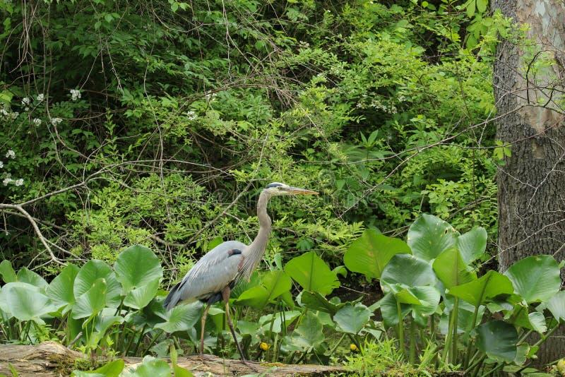 一个伟大蓝色的苍鹭的巢涉过通过一些高杂草然后栖息处在下落的注册沼泽,当寻找食物时 库存图片