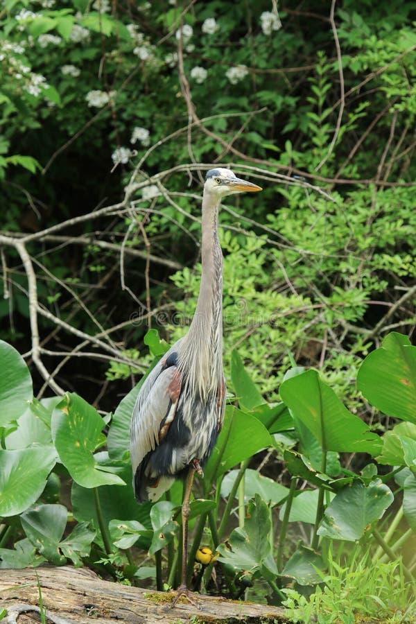 一个伟大蓝色的苍鹭的巢涉过通过一些高杂草然后栖息处在下落的注册沼泽,当寻找食物时 免版税库存照片