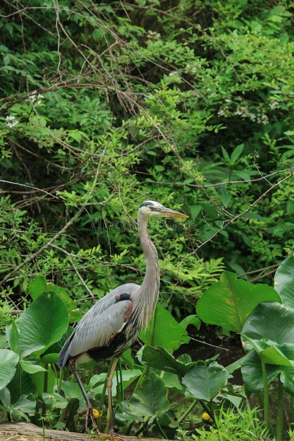 一个伟大蓝色的苍鹭的巢涉过通过一些高杂草然后栖息处在下落的注册沼泽,当寻找食物时 免版税库存图片