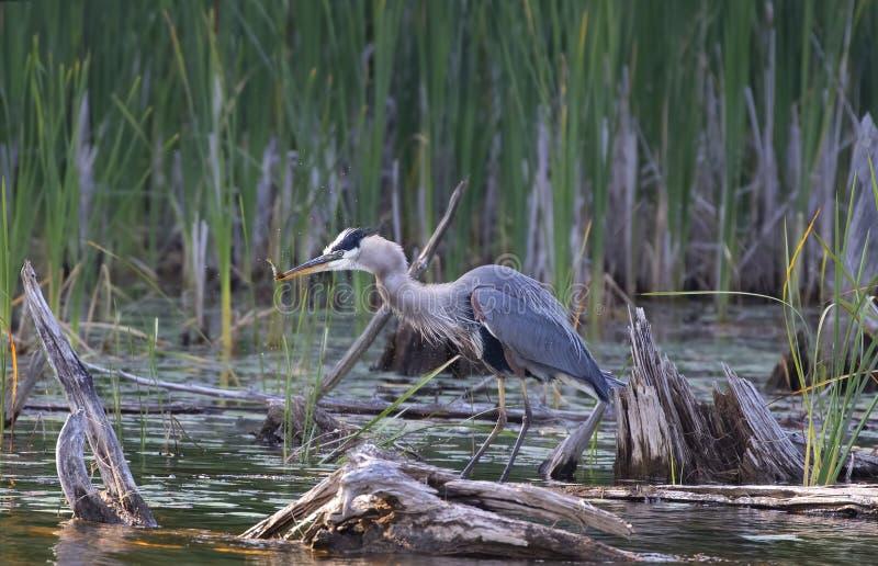 一个伟大蓝色的苍鹭的巢身分在有一个新近地被捉住的栖息处的沼泽在怀特湖,安大略,加拿大 免版税图库摄影