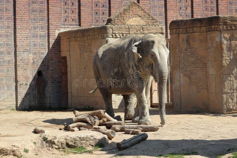 一个偏僻的大象身分在动物园里在莱比锡在德国 免版税库存图片
