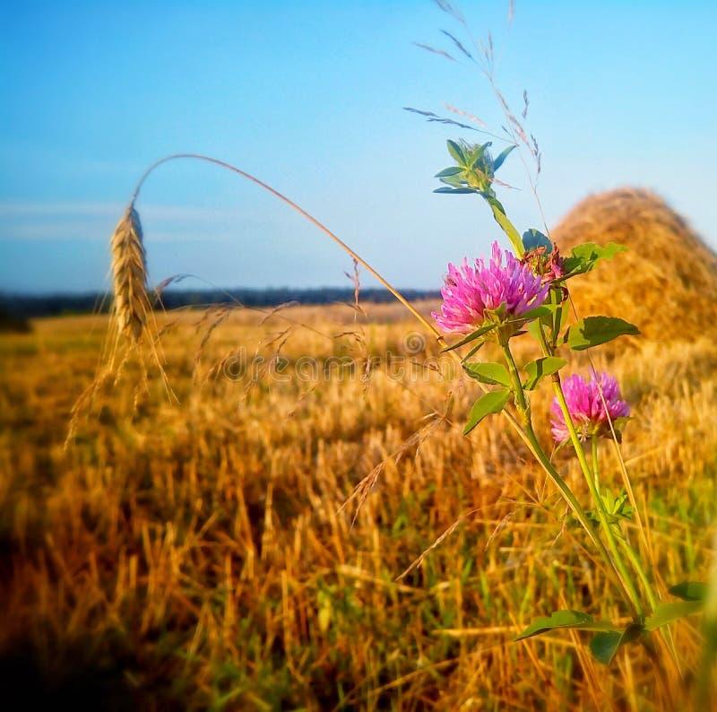 一个偏僻的小尖峰和三叶草 免版税库存图片