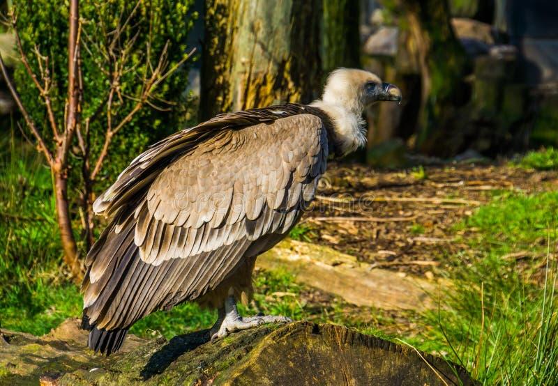 一个兀鹫身分的特写镜头在树干的,从欧洲的共同的净化剂鸟 库存图片