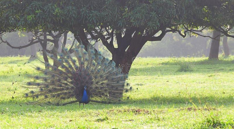一个公印地安孔雀-孔雀-孔雀座Cristatus -跳舞在一片草地的一棵芒果树下在印地安村庄 库存照片