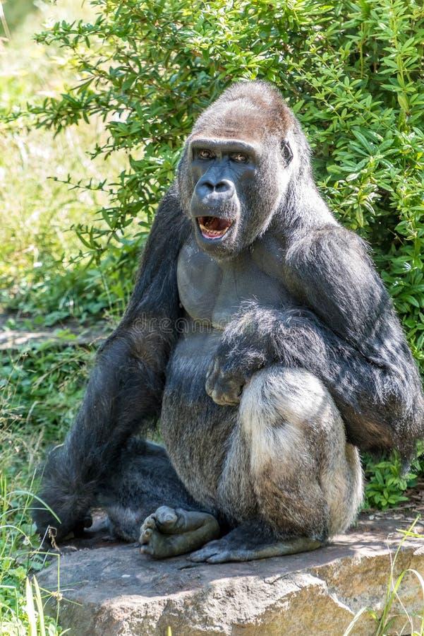 一个公大猩猩平静地观看 免版税库存照片