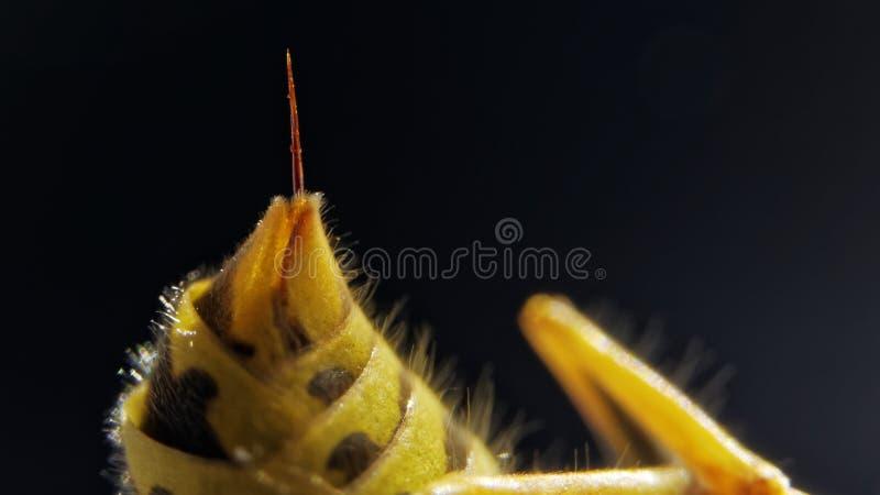 从一个共同的欧洲黄蜂的有刺的动物 库存图片