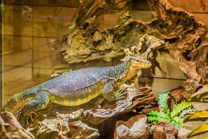 一个共同的水监控器身分的画象在树枝的,从亚洲的大热带蜥蜴 免版税图库摄影