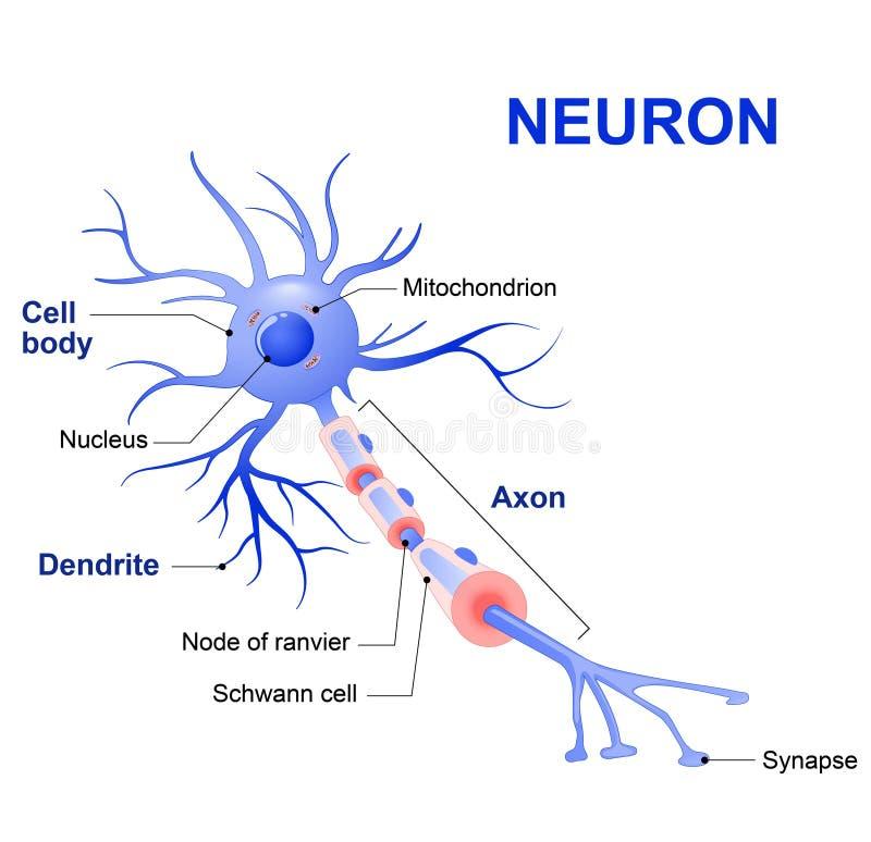 一个典型的神经元的结构 向量例证